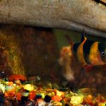 The Classic Case of the Elusive Clown Loaches!